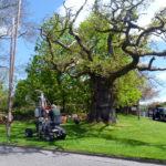 Saving the Clachan Oak in 2013
