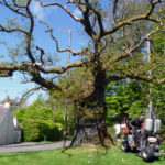 Saving the Clachan Oak in 2013
