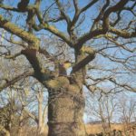 The Clachan Oak